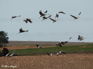 Common Crane Birding Holiday Portugal