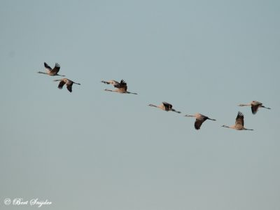 Common Crane Birding Holiday Portugal