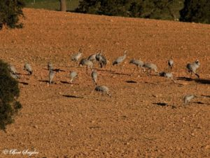 Common Crane Birdwatching Holiday Portugal