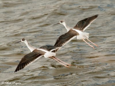 Black-winged Stilt Birding Portugal