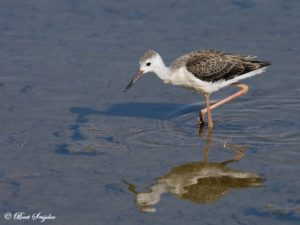 Black-winged Stilt Birdwatching Portugal