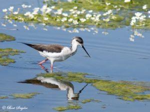 Black-winged Stilt Birdwatching Portugal
