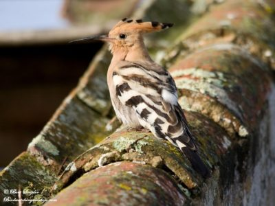 Hoopoe Birding Holiday Portugal