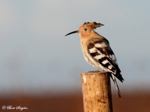 Hoopoe Birdwatching Holiday Portugal