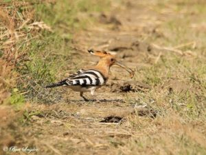 Hoopoe Birding Holiday Portugal