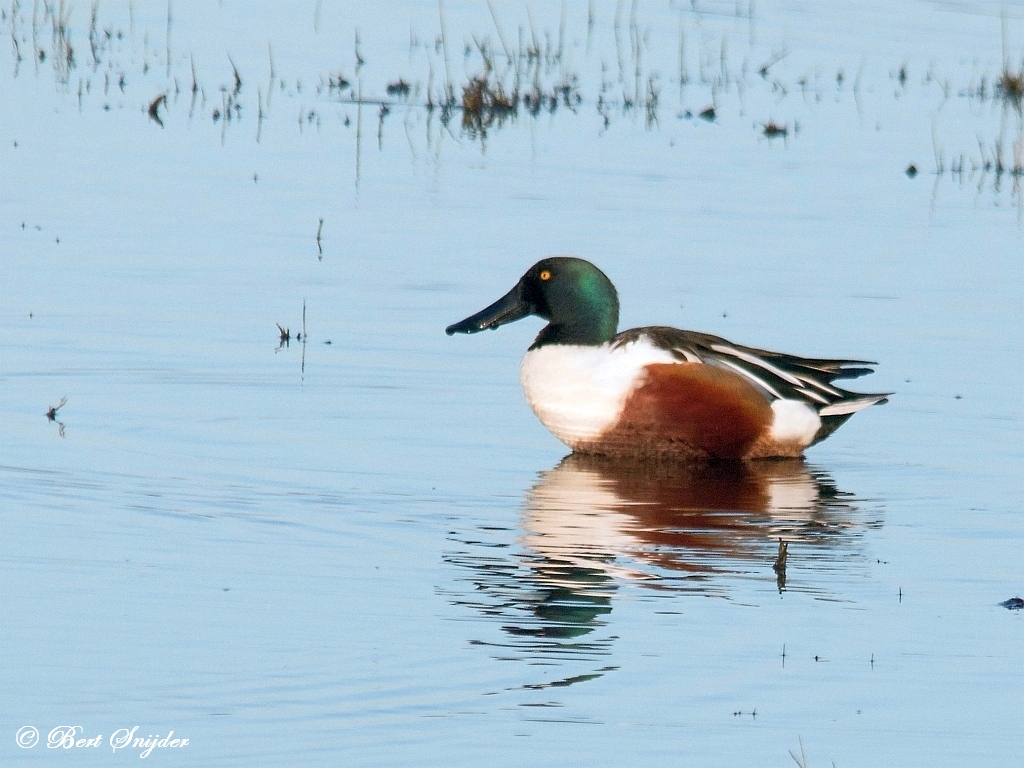 Northern Shoveler Birding Portugal
