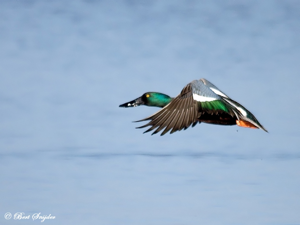 Northern Shoveler Birdwatching Portugal
