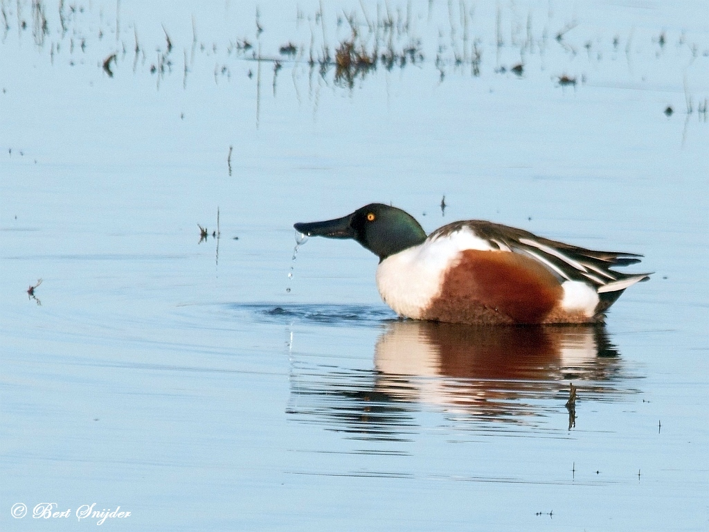 Shoveler Birdwatching Portugal