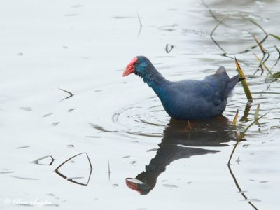 Purple Swamphen Birding Portugal