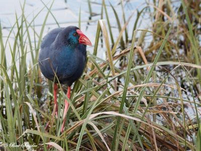 Purple Swamphen Birdwatching Portugal