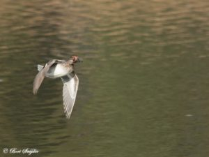 Teal Birdwatching Portugal