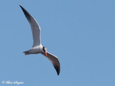 Caspian Tern Birdwatching Portugal