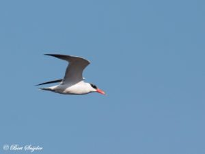 Caspian Tern Birdwatching Portugal