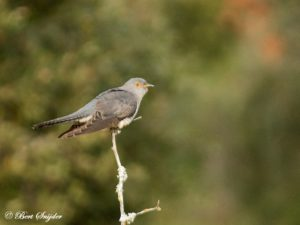Cuckoo Birdwatching Portugal