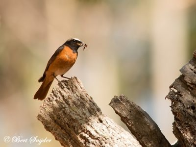 Common Redstart Birdwatching Portugal