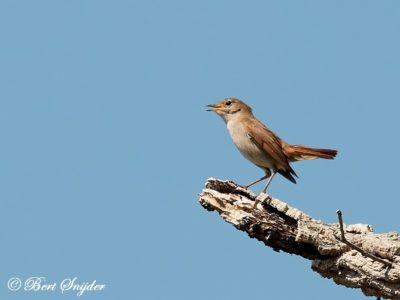 Nightingale Birdwatching Holiday Portugal