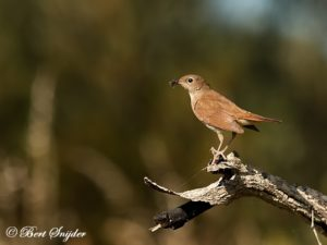 Nightingale Birding Holiday Portugal