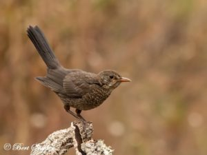 Blackbird Bird Hide BSP1 Portugal