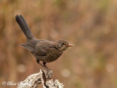 Blackbird Bird Hide BSP1 Portugal