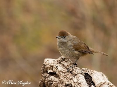 Blackcap Bird Hide BSP1 Portugal