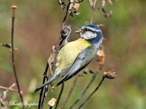Blue Tit Bird Hide BSP1 Portugal