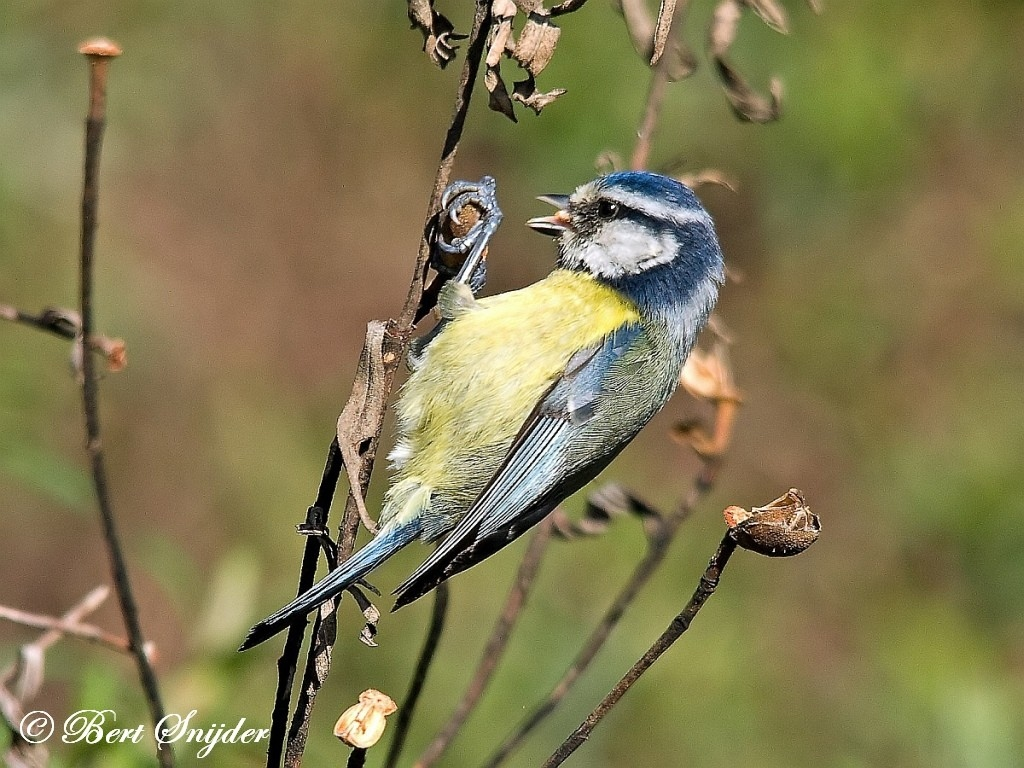 Blue Tit Bird Hide BSP1 Portugal