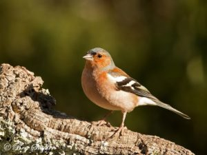 Chaffinch Bird Hide BSP1 Portugal