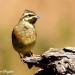 Cirl Bunting Bird Hide BSP1 Portugal