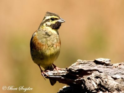 Cirl Bunting Bird Hide BSP1 Portugal