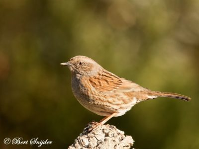 Dunnock Bird Hide BSP1 Portugal