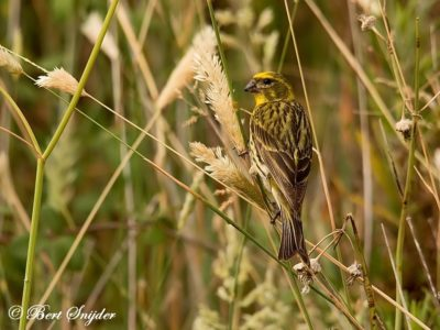 European Serin Bird Hide BSP1 Portugal