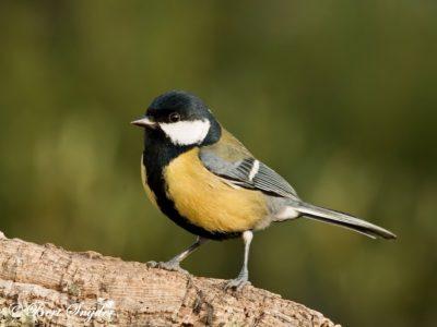 Great Tit Bird Hide BSP1 Portugal