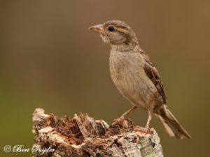 House Sparrow Bird Hide BSP1 Portugal