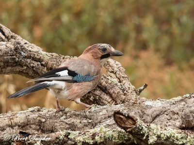 Jay Bird Hide BSP1 Portugal