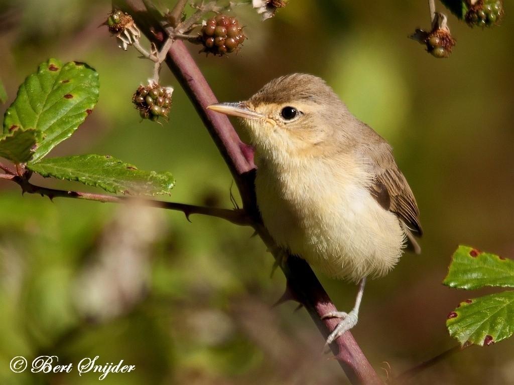 Melodious Warbler Bird Hide BSP1 Portugal