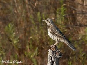 Mistle Thrush Bird Hide BSP1 Portugal