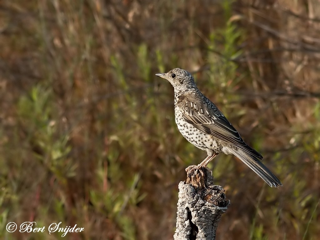 Mistle Thrush Bird Hide BSP1 Portugal
