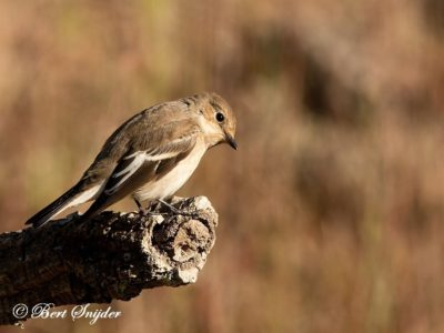Pied Flycatcher Bird Hide BSP1 Portugal