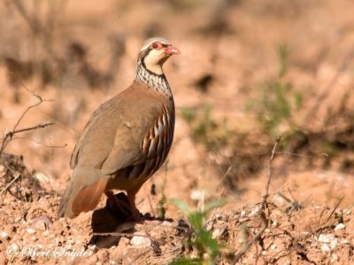 Red-legged Partridge Bird Hide BSP1 Portugal
