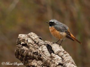 Redstart Bird Hide BSP1 Portugal