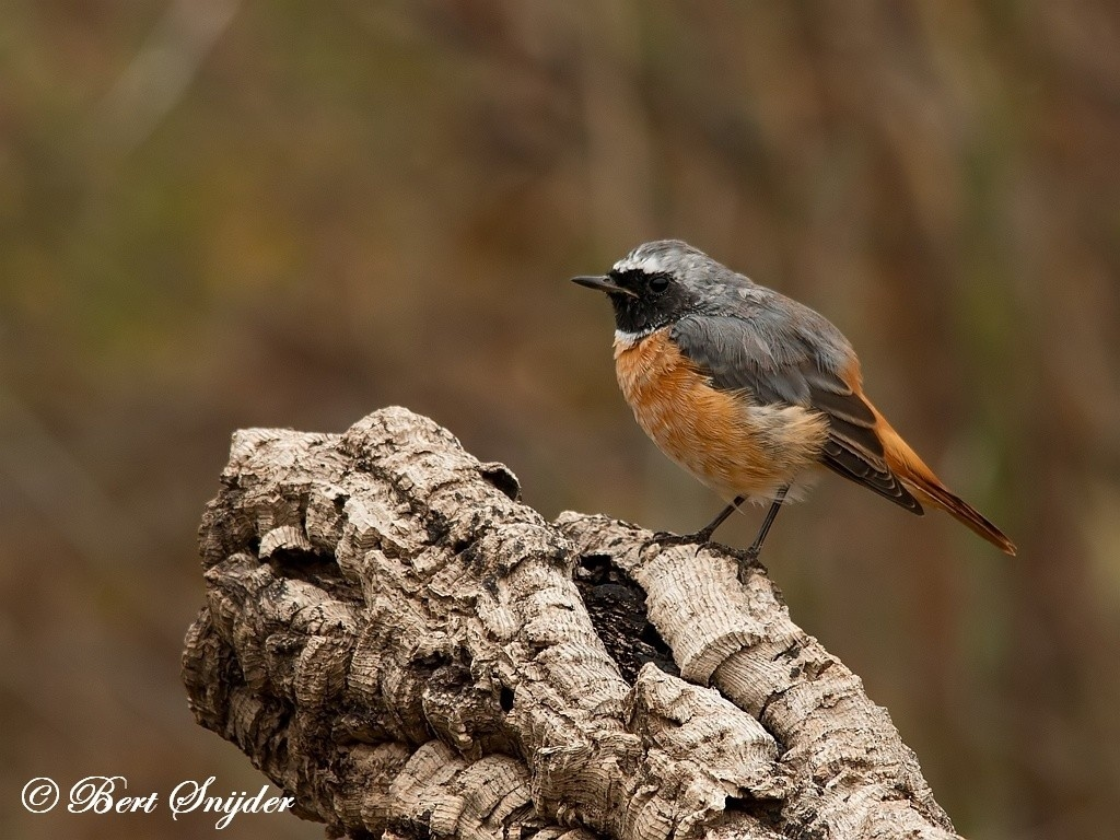 Redstart Bird Hide BSP1 Portugal