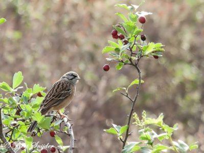 Rock Bunting Bird Hide BSP1 Portugal