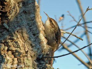 Short-toed Treecreeper Bird Hide BSP1 Portugal