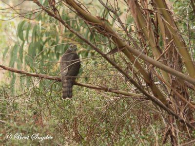 Sparrow Hawk Bird Hide BSP1 Portugal