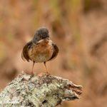 Subalpine Warbler Bird Hide BSP1 Portugal