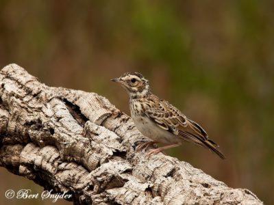Woodlark Bird Hide BSP1 Portugal