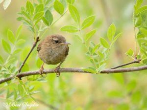 Wren Bird Hide BSP1 Portugal