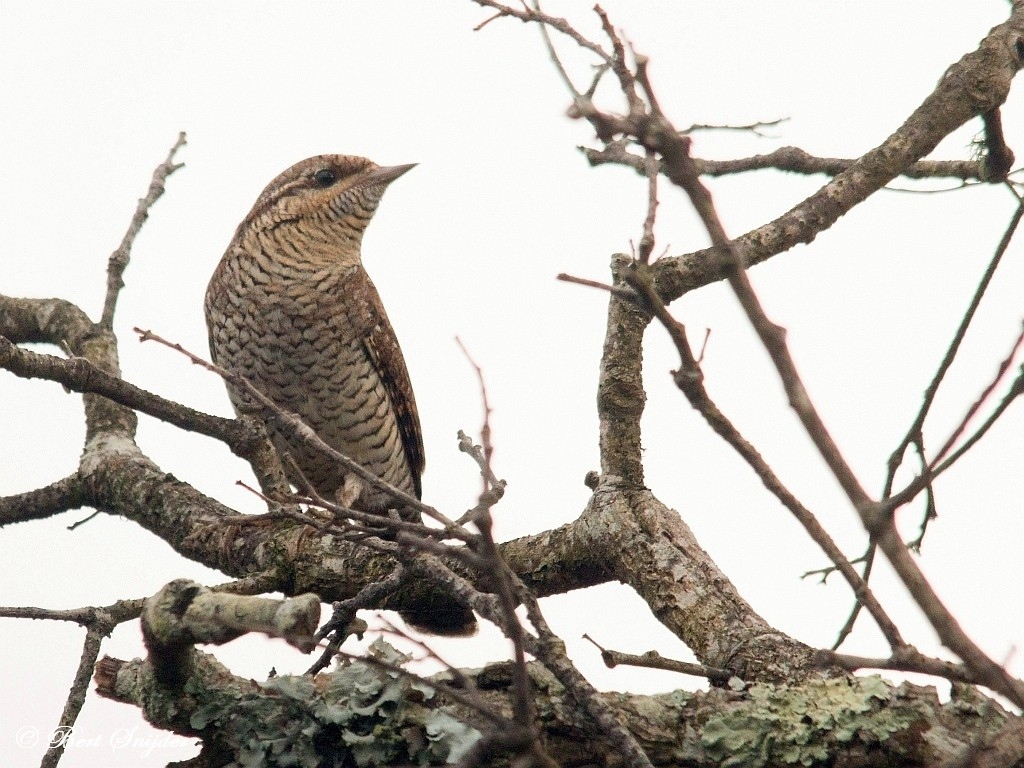 Wryneck Bird Hide BSP1 Portugal