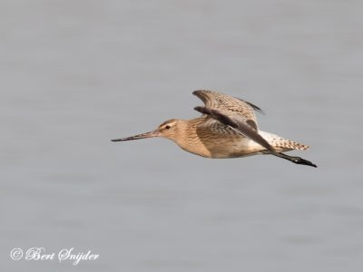 Bar-tailed Godwit Birding Portugal