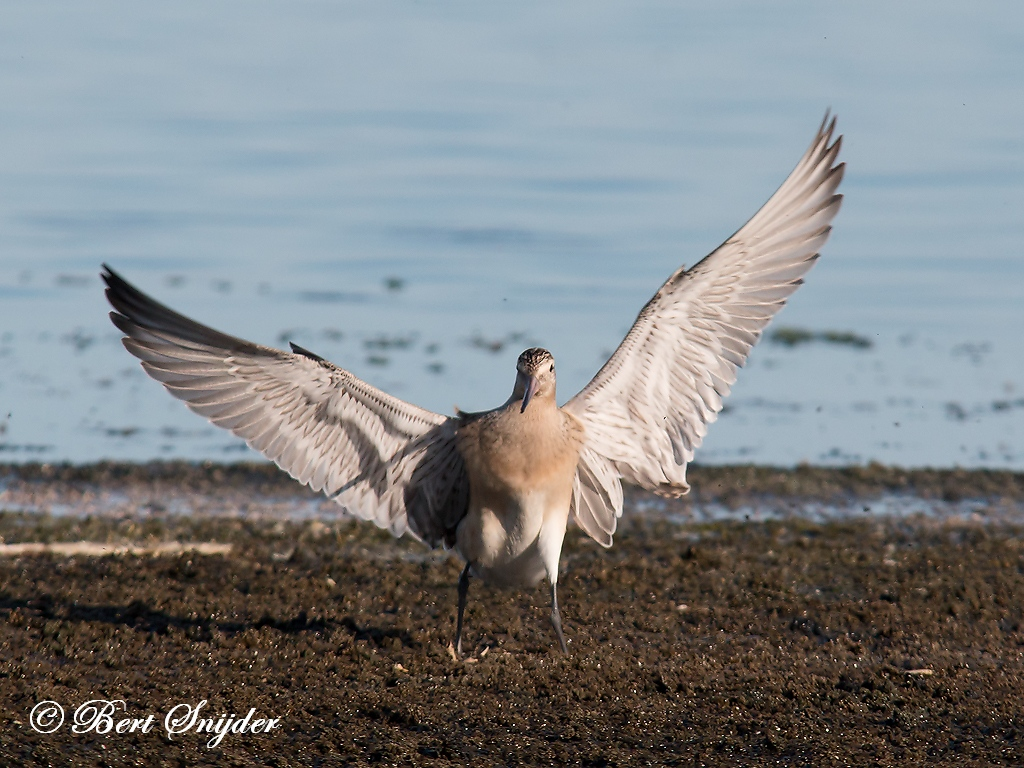 Bar-tailed Godwit Birding Portugal